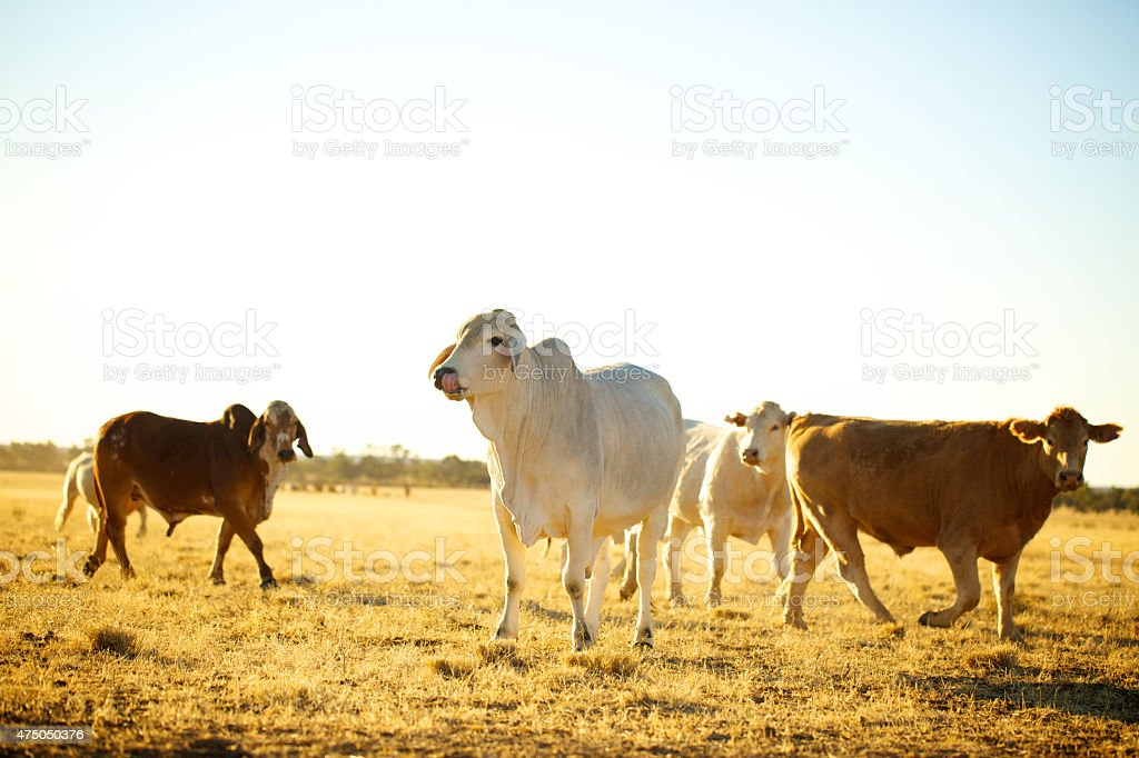 Cattle on a cattle station stock photo