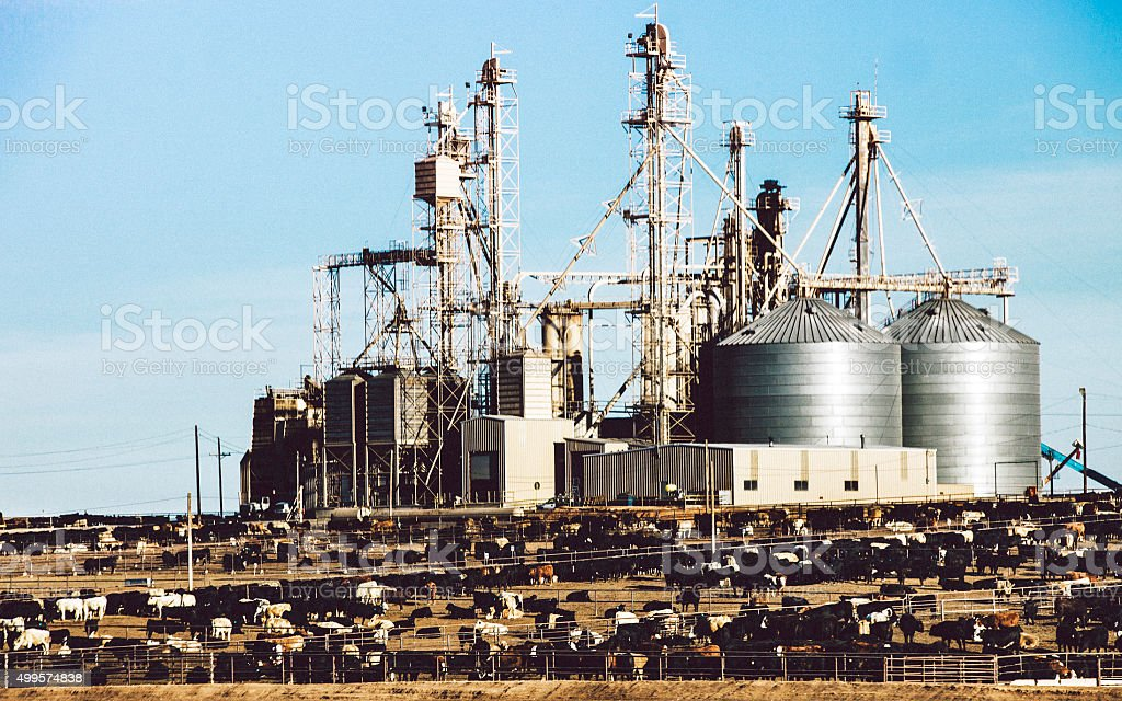 Cattle on a feedlots. stock photo