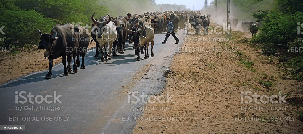 Cattle on a rural road in Gujurat stock photo