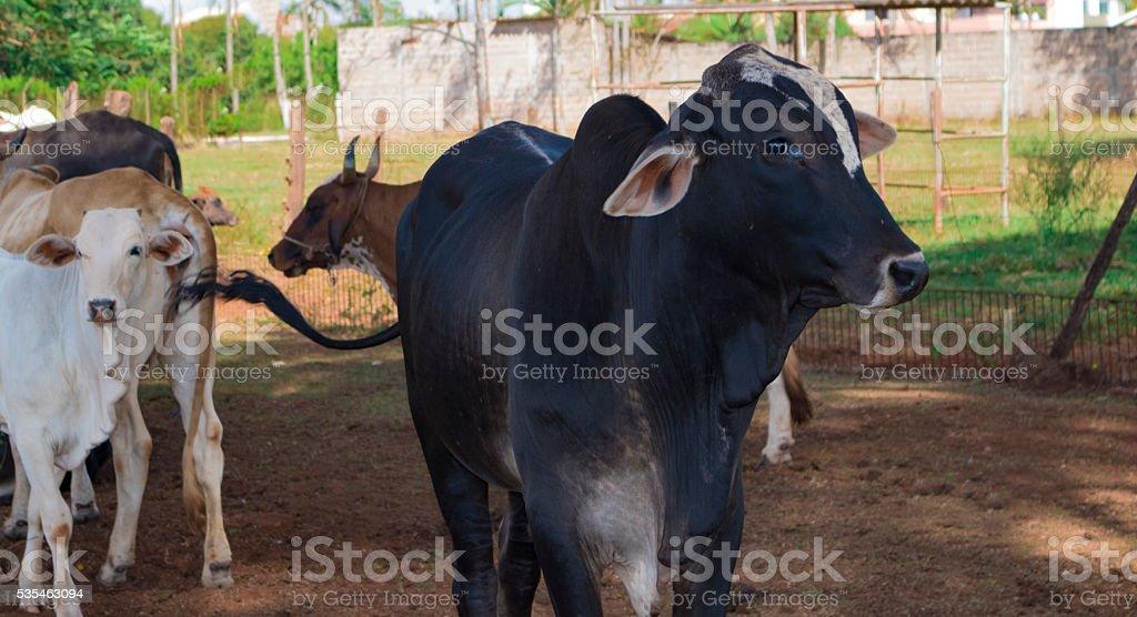 Cattle on farmland, brazil stock photo