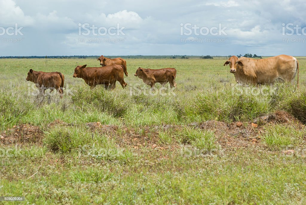 Cattle on farmland stock photo