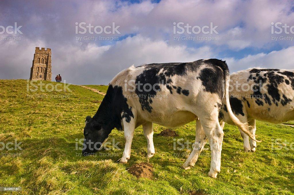 Cattle on Glastonbury Tor stock photo