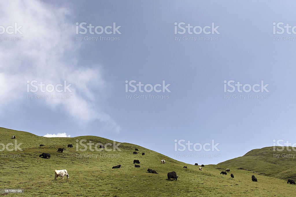 Cattle on grassland outdoor royalty-free stock photo