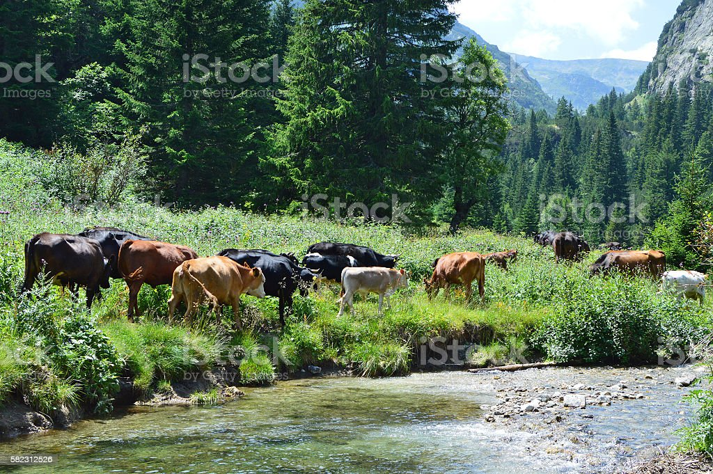 Cattle on its way to the high mountain pasture stock photo