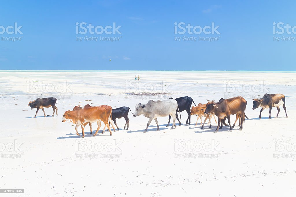Cattle on Paje beach, Zanzibar. stock photo