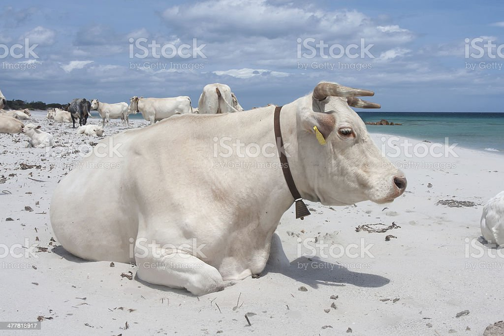 Cattle on the beach stock photo