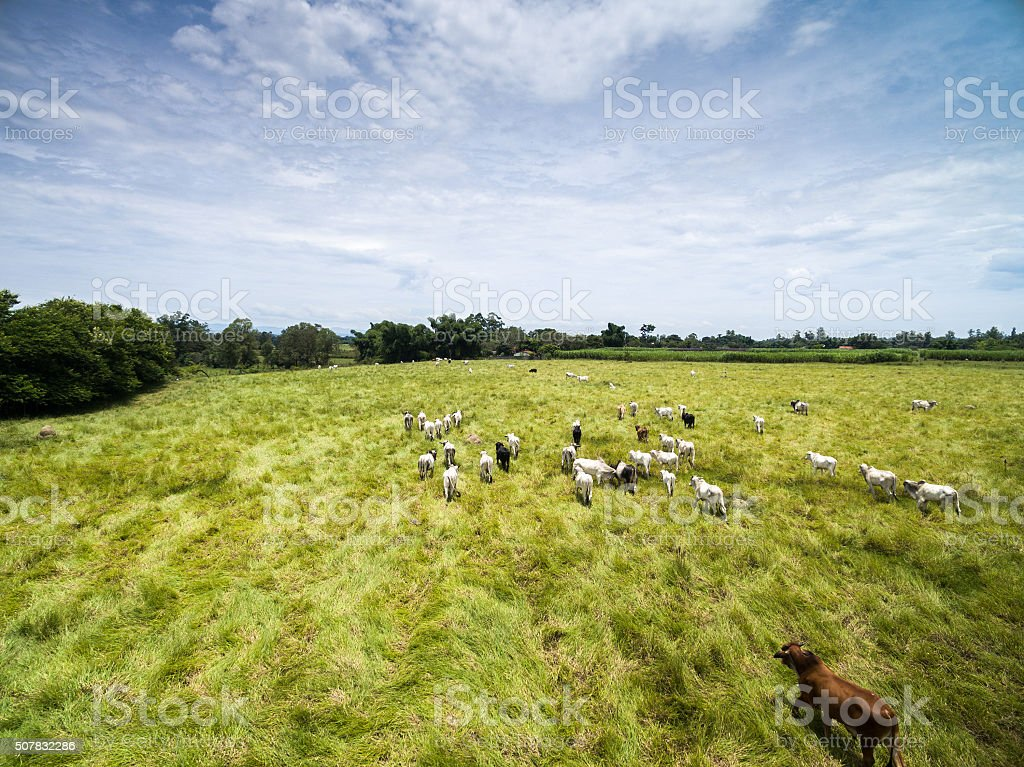 Cattle on the Brazilian farm stock photo