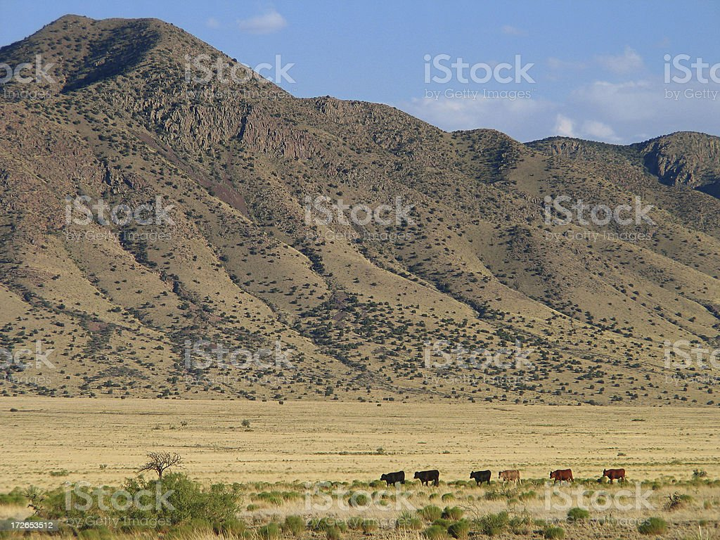 Cattle On The Move stock photo