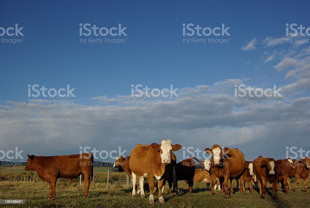 Cattle on the ranch stock photo