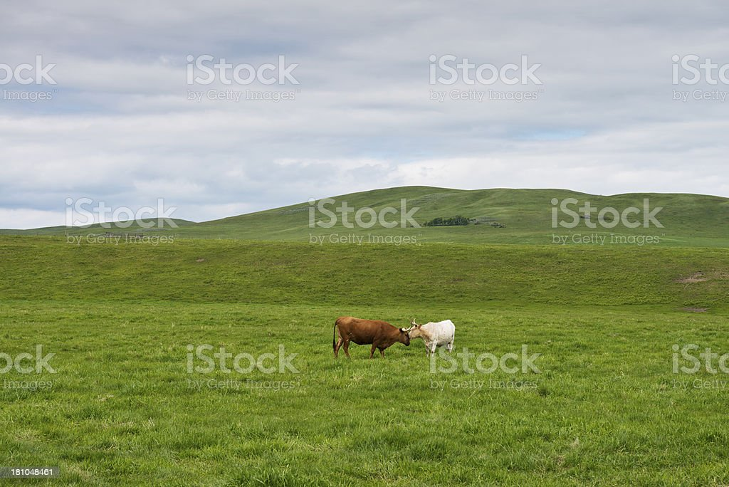 Cattle on the Range royalty-free stock photo