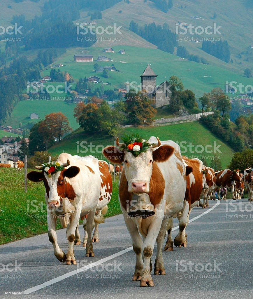 Cattle on the run royalty-free stock photo