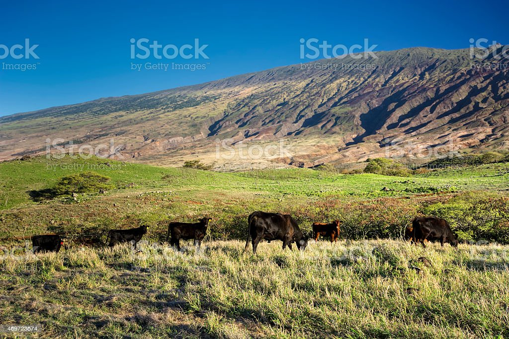 Cattle on the south side of Haleakala, Maui, Hawaii stock photo