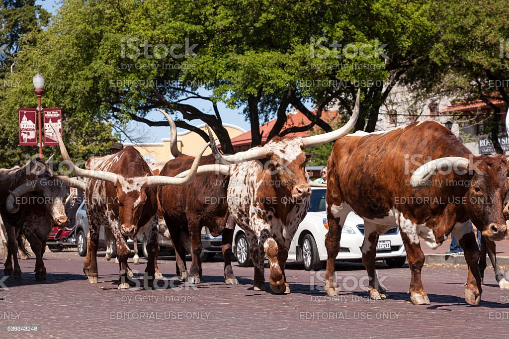 Cattle on the street of Forth Worth Stockyards stock photo