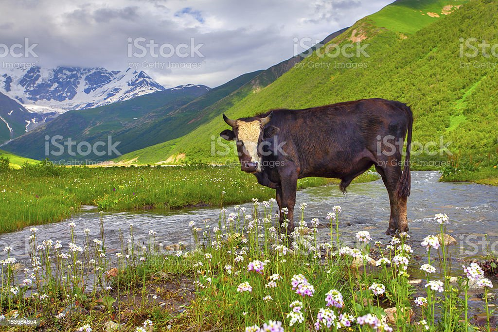 Cattle on the watering in mountains. royalty-free stock photo