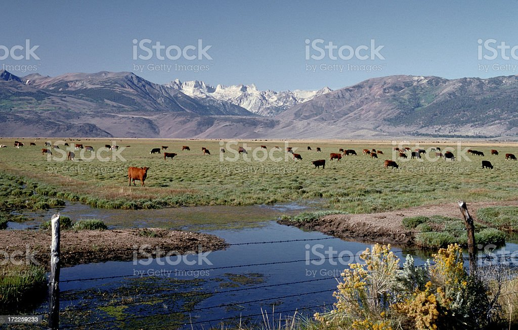 Cattle Owens Valley royalty-free stock photo