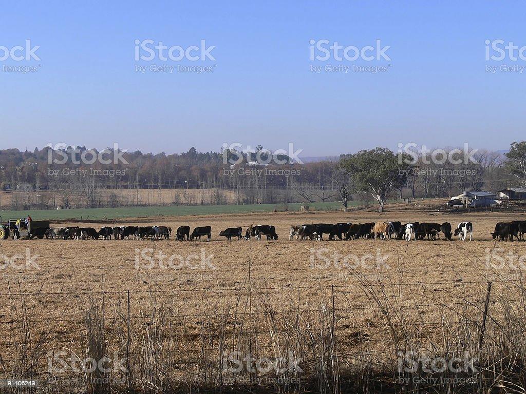 Cattle. stock photo