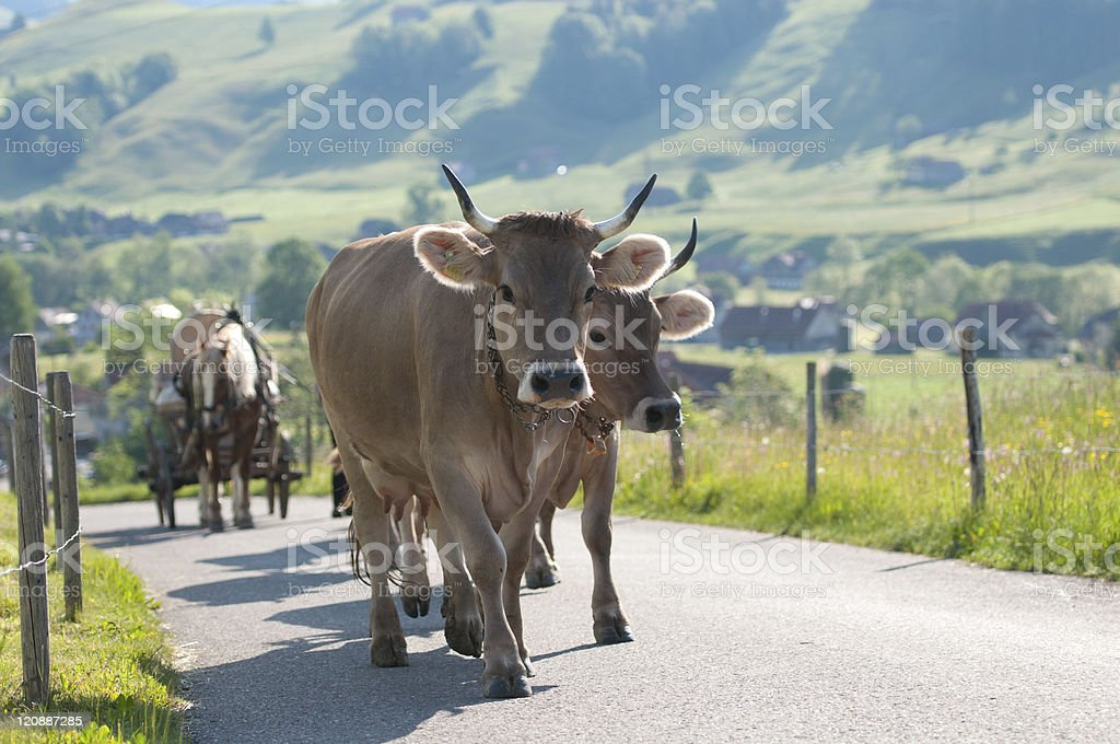 Cattle procession in Appenzell stock photo