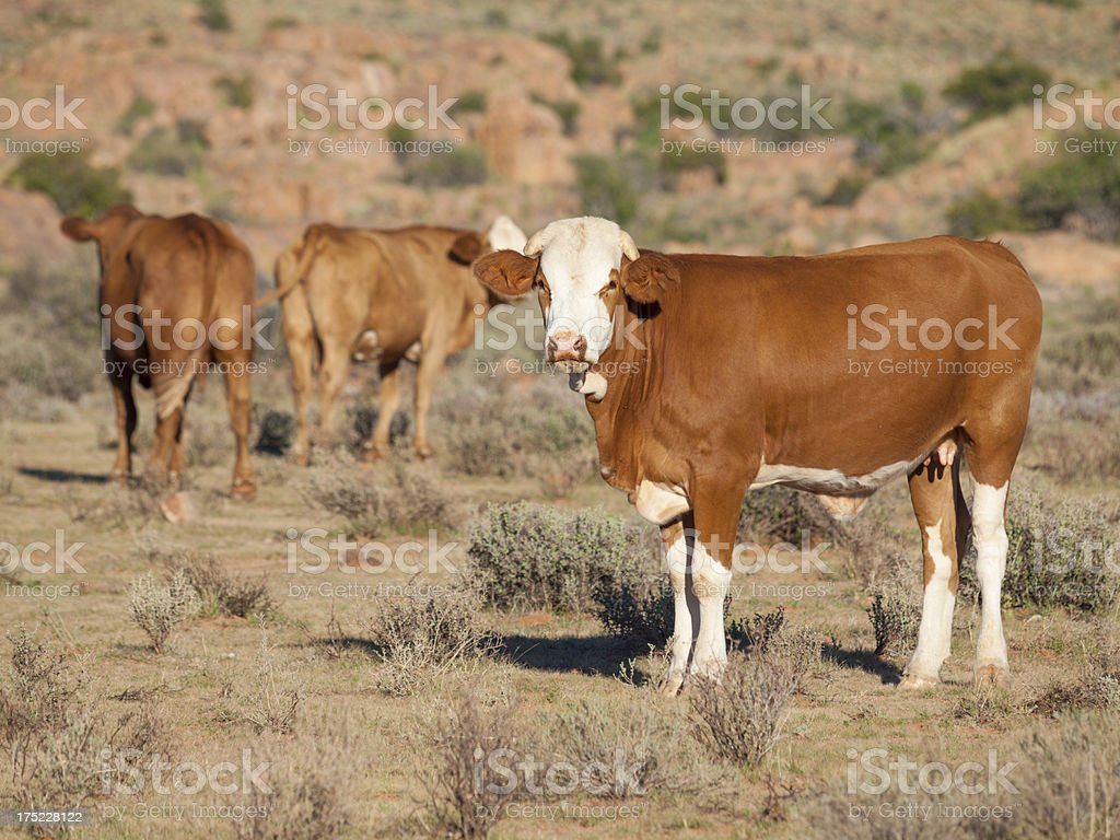 Cattle Ranch, Namibia royalty-free stock photo