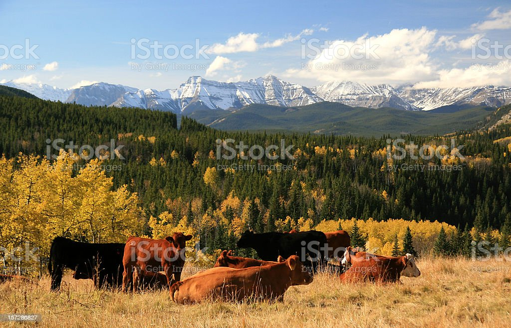Cattle Ranching in the Alberta Foothills royalty-free stock photo