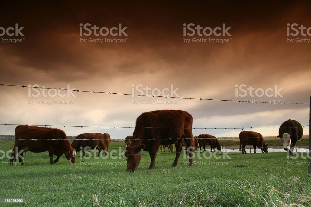 Cattle Ranching Industry royalty-free stock photo