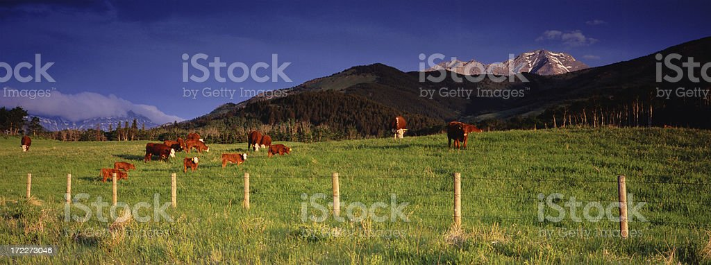 Cattle Ranching Panoramic royalty-free stock photo