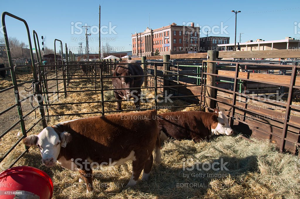 Cattle relax in Denver's National Western stockyards stock photo