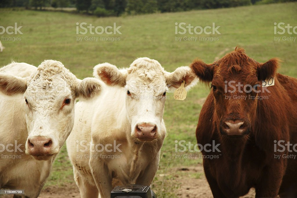 cattle scenes - cows pose stock photo