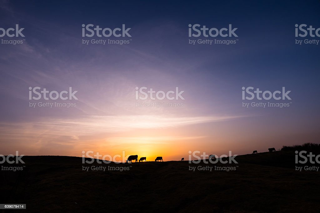 cattle silhouette at pasture stock photo