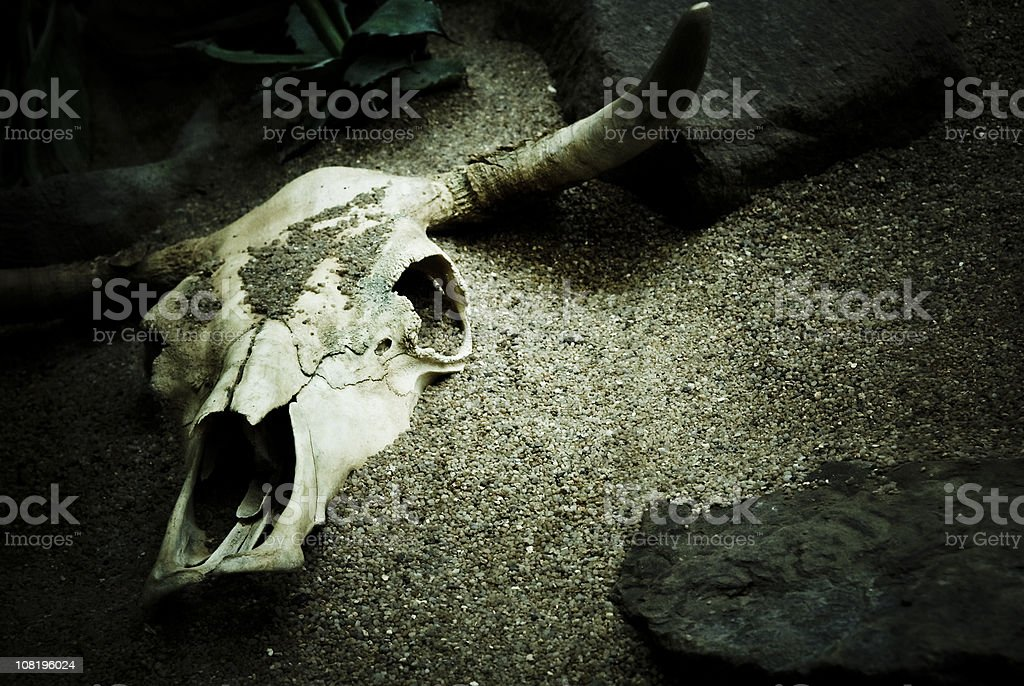 Cattle Skull Buried in Sand stock photo