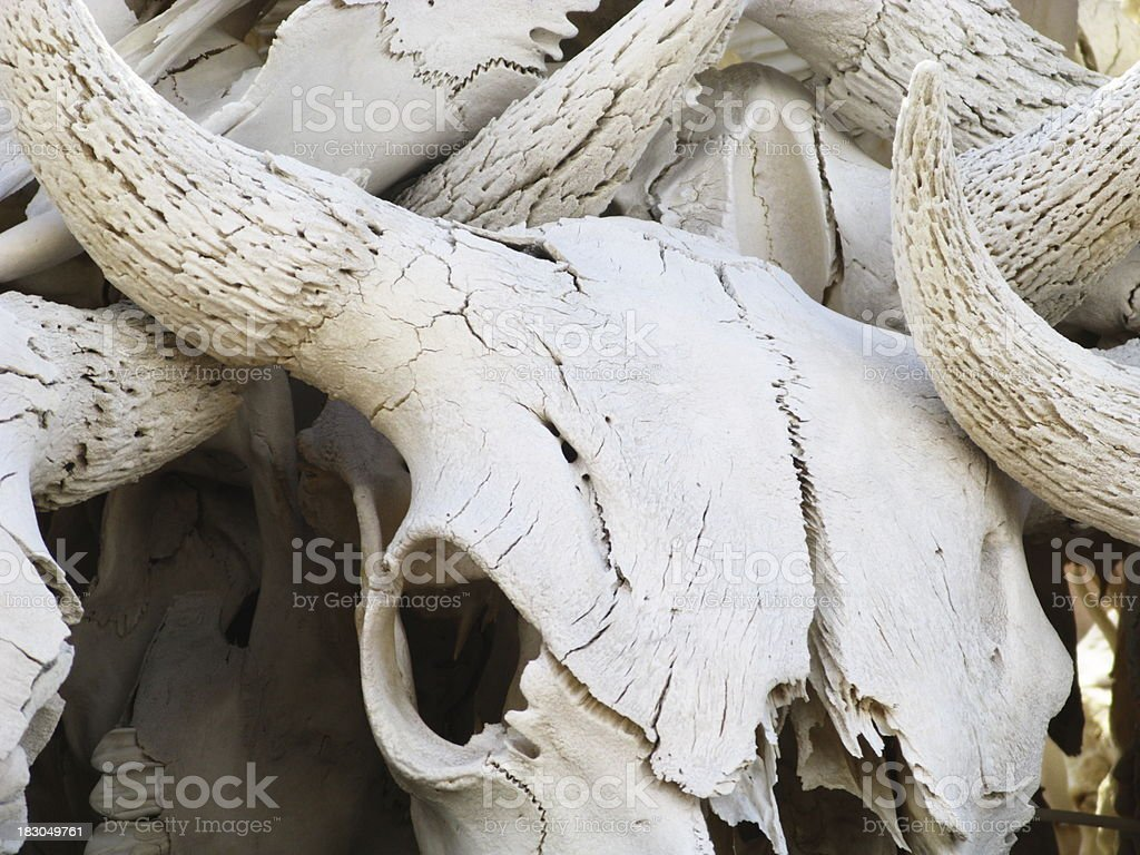 Cattle Skulls stock photo