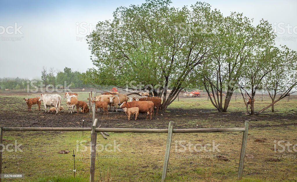 Cattle standing stock photo