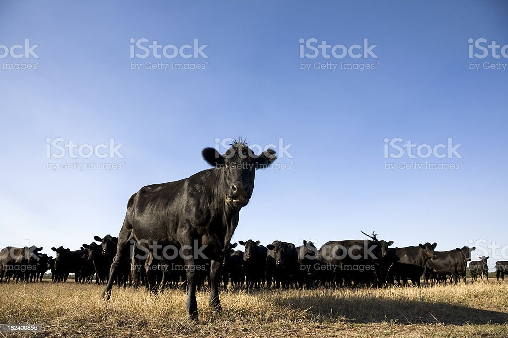 Cattle Station stock photo