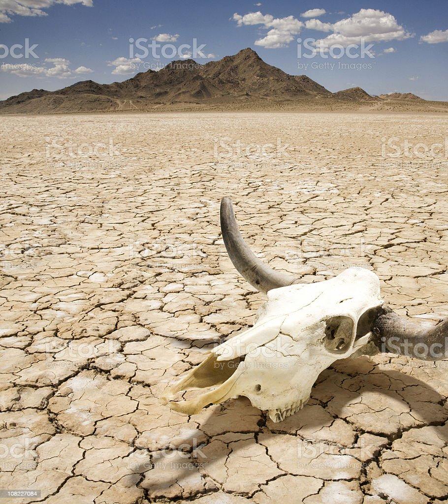 Cattle Steer Skull on Dry Desert Land stock photo