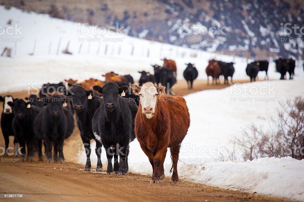 cattle wintering in Western Colorado standing on dirt road stock photo