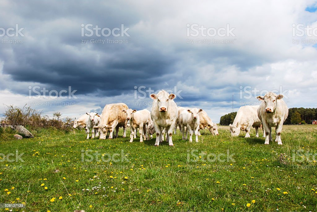 Cattle with calves at a green field stock photo
