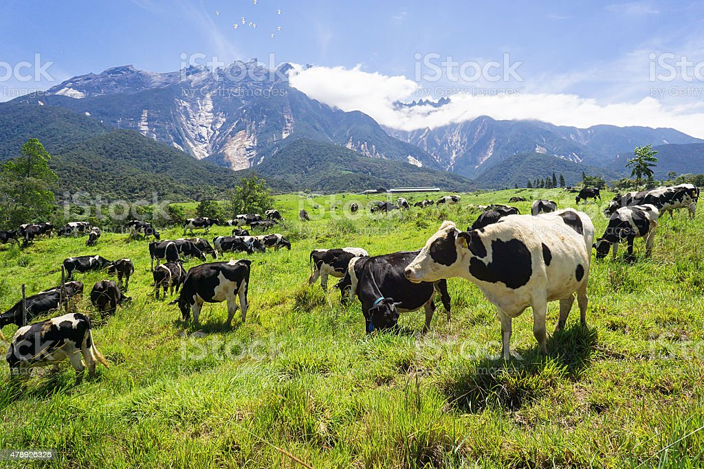 Cattles at a dairy farm with green landscape stock photo