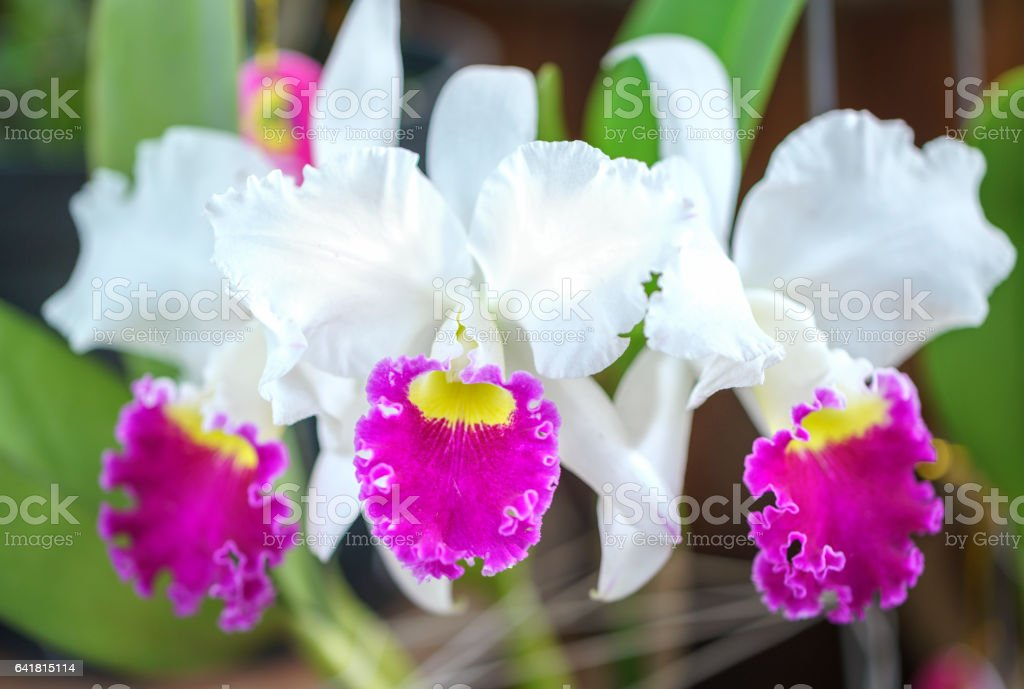 Cattleya Labiata flowers stock photo