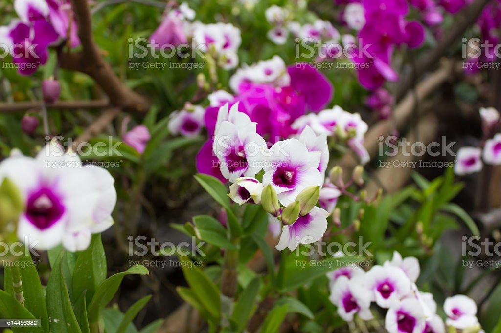 cattleya orchid flower stock photo