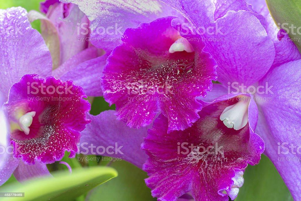 Cattleya Orchid stock photo
