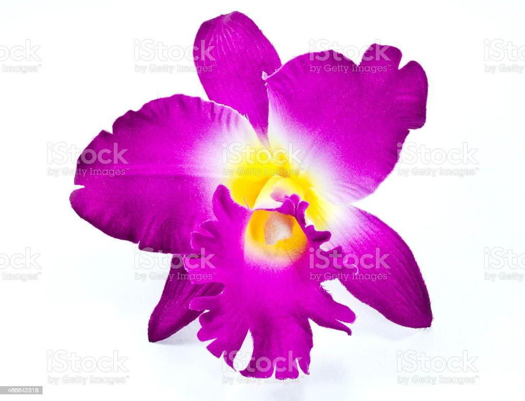 Cattleya orchid. stock photo
