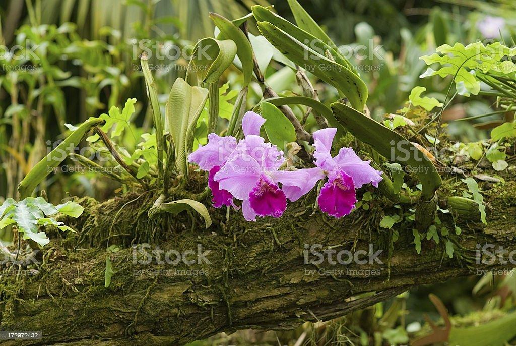 cattleya stock photo