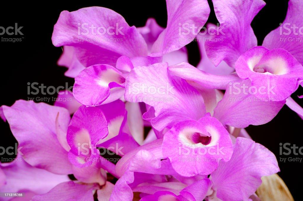 Cattleya skinneri orchid stock photo