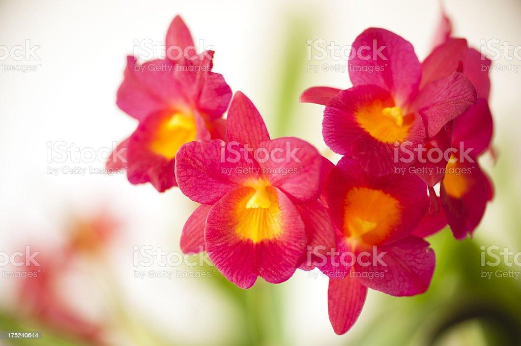 Cattleyas stock photo