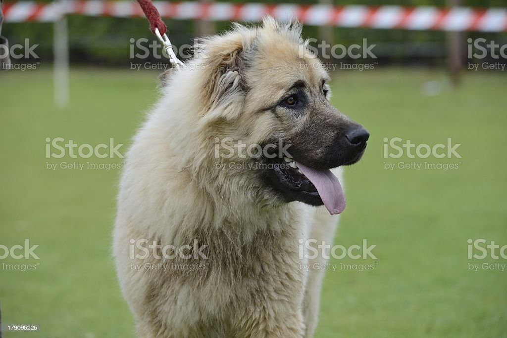Caucasian Shepherd, working test royalty-free stock photo