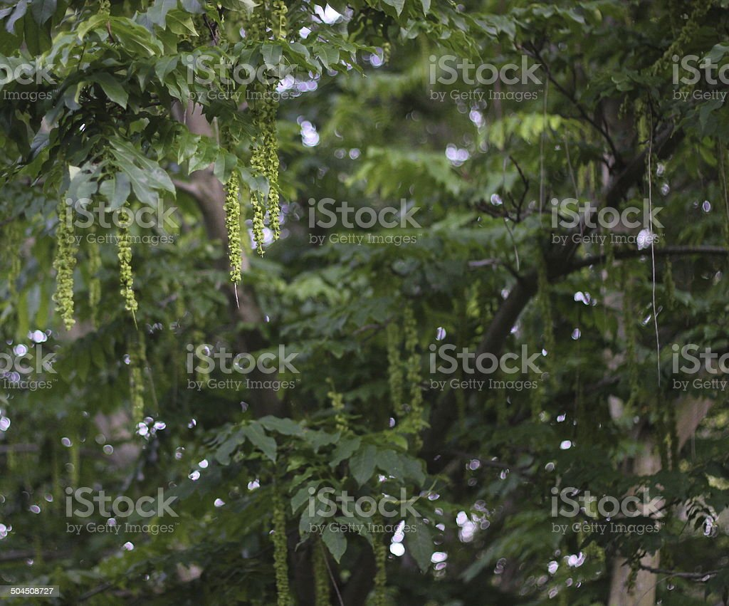Caucasian Wingnut With Fruits stock photo