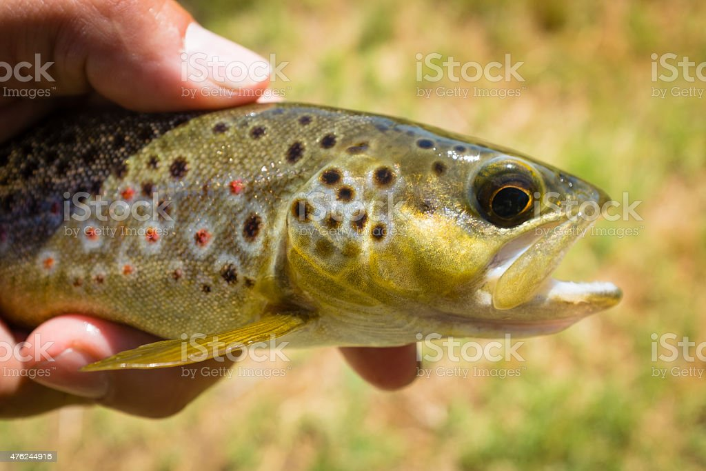 Caught Brown Trout stock photo