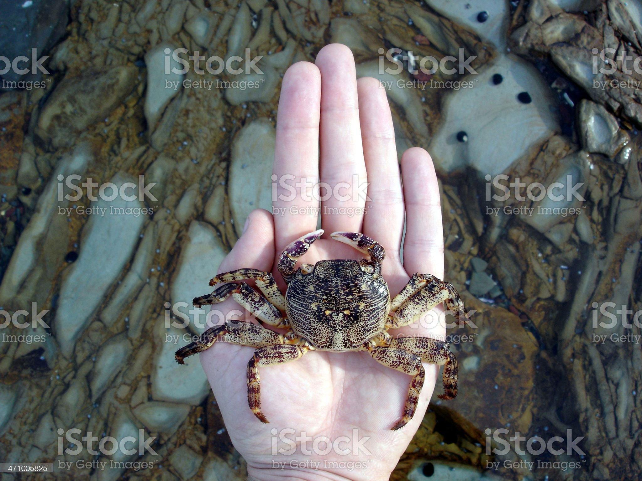 Caught Crab royalty-free stock photo