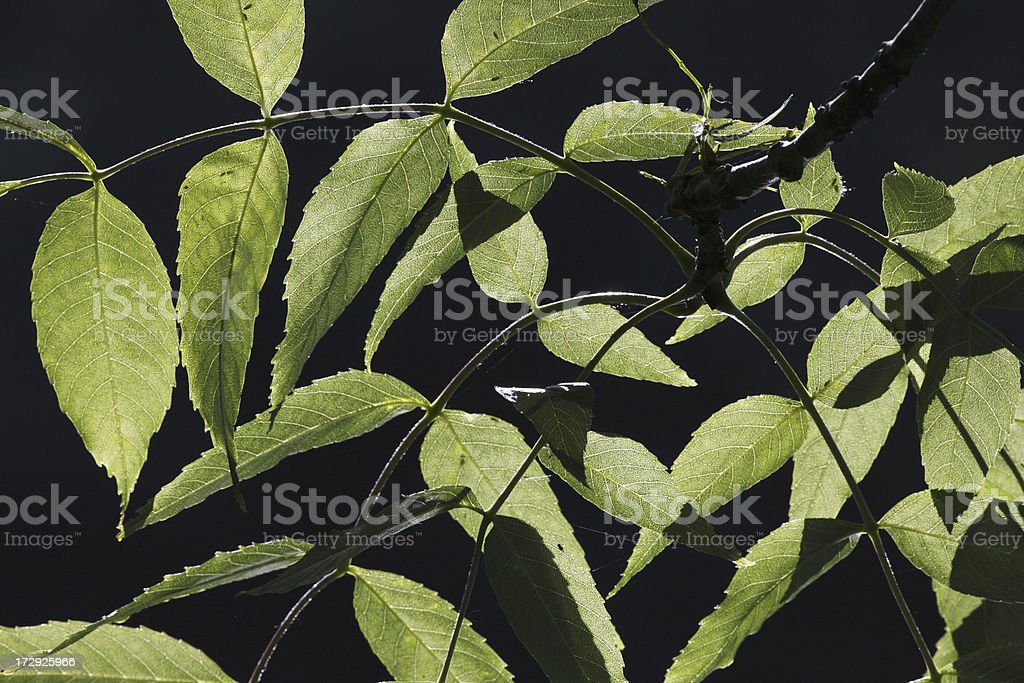 Leaves of hickory tree Carya catch the sunlight stock photo