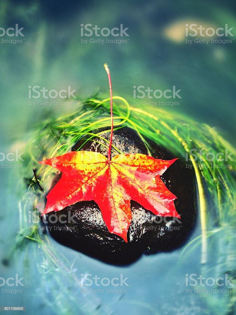 Caught maple leaf on  long green algae stone. Colorful symbol stock photo