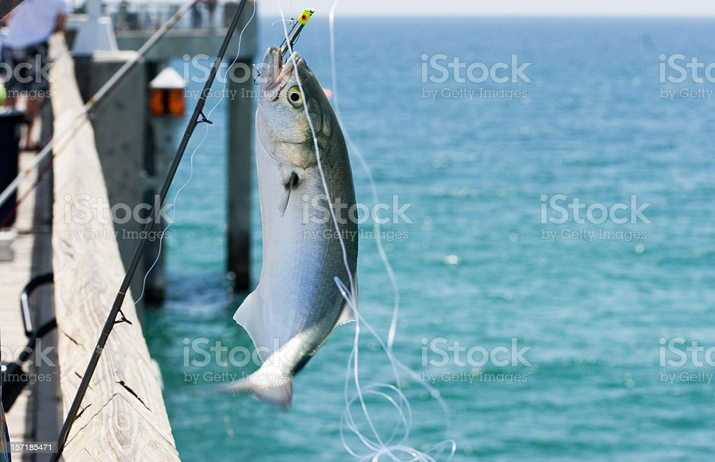 Caught One! royalty-free stock photo